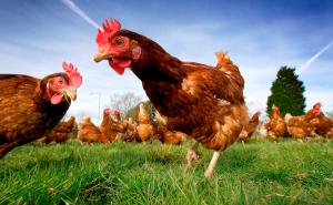 free_chicken_notxt